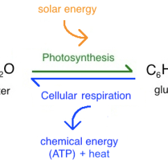 Diagram With Inputs And Outputs Of Photosynthesis Process Human Leg Bone Anatomy Intro To Article Khan Academy On A Simplified Level Cellular Respiration Are Opposite Reactions Each Other