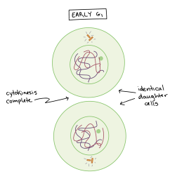 Phases of mitosis   Mitosis   Biology (article)   Khan Academy [ 1419 x 1631 Pixel ]