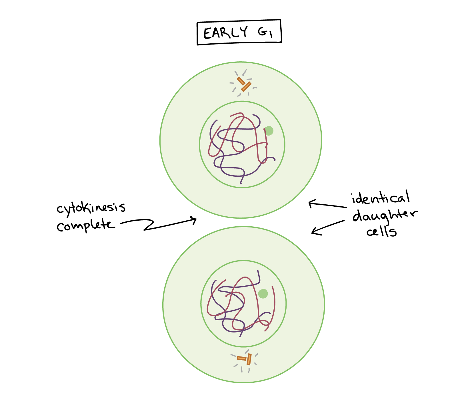 hight resolution of Phases of mitosis   Mitosis   Biology (article)   Khan Academy