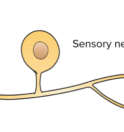 simple diagram of a sensory neuron showing that it has just one process that leaves [ 2550 x 901 Pixel ]