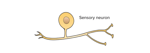 small resolution of simple diagram of a sensory neuron showing that it has just one process that leaves