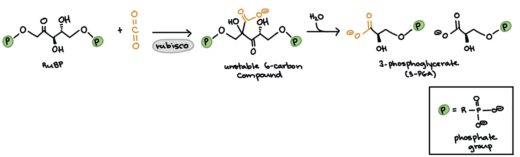 hight resolution of diagram showing the molecular structures of rubp and carbon dioxide the unstable six carbon