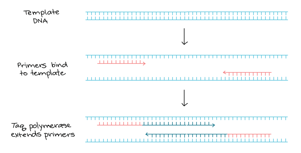 medium resolution of pcr primers