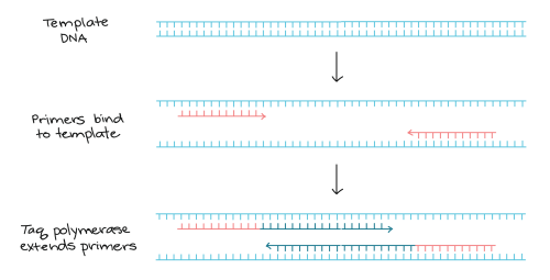 small resolution of pcr primers