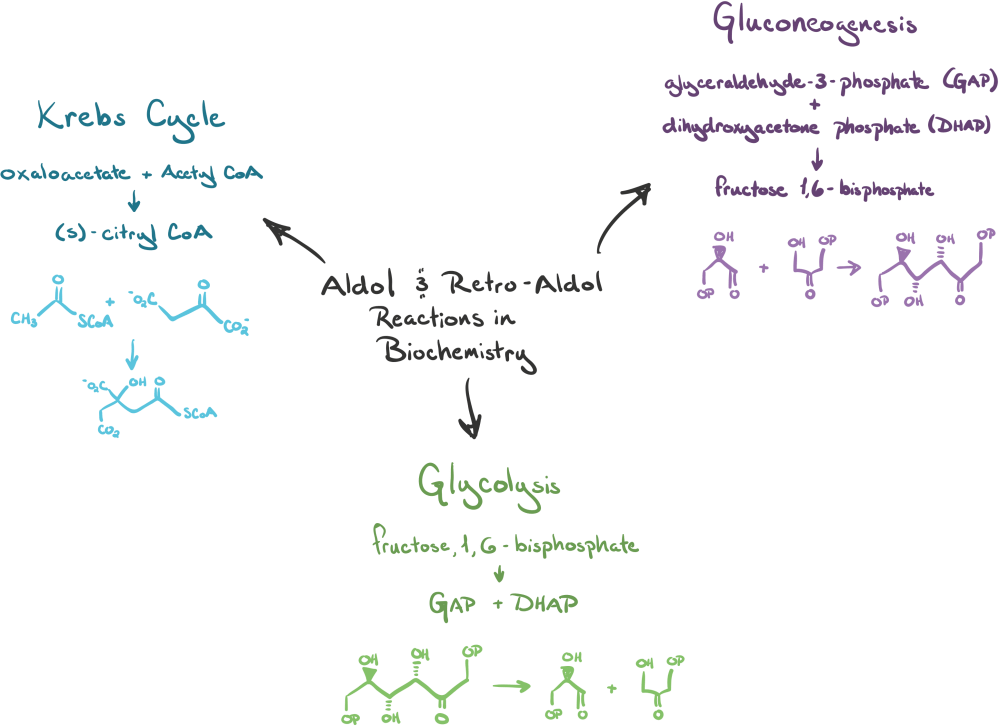 medium resolution of diagram showing the three metabolic processes that use aldol and retro aldol reactions the