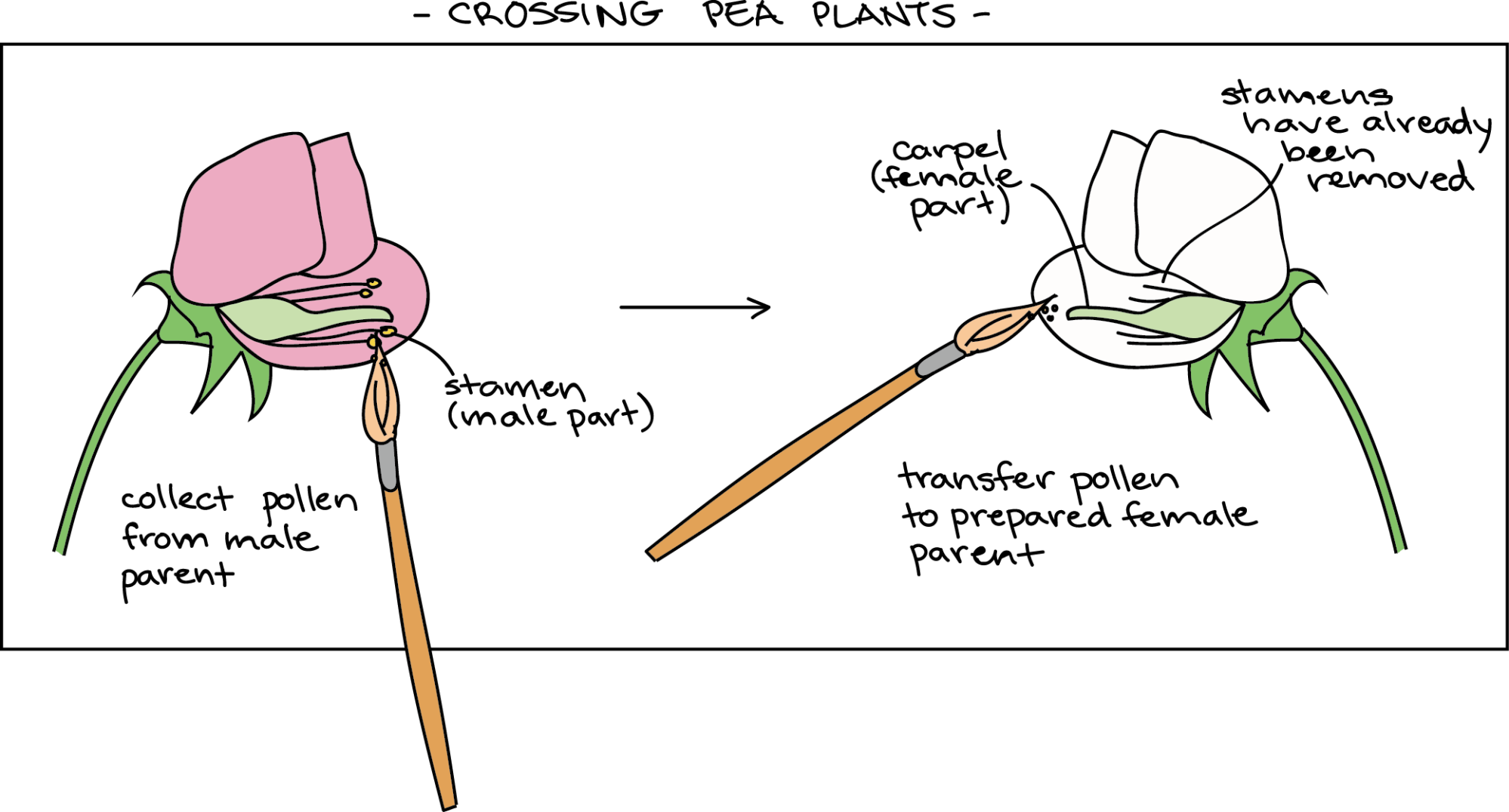 hight resolution of diagram of pea flowers showing how a cross is performed first a flower