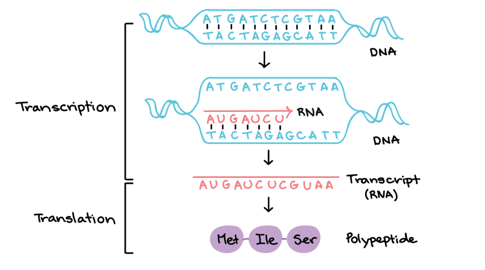 medium resolution of in transcription a region of dna opens up one strand the template strand