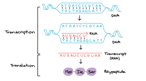 small resolution of in transcription a region of dna opens up one strand the template strand
