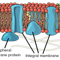 Cell Membrane Diagram Blank Boat Switch Panel Wiring Membranes And Transport Ap Biology Science Khan Academy Proteins