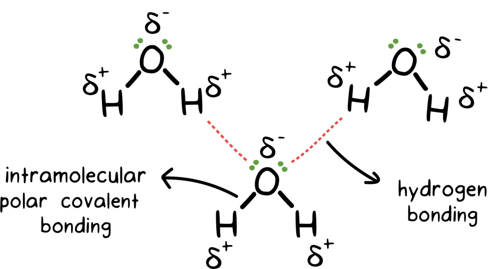 medium resolution of figure of intramolecular polar covalent bonding within h20 molecules and hydrogen bonding between o and h