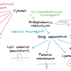 Eukaryotic Endomembrane System Cell Diagram Saginomiya Oil Pressure Switch Wiring Protein Targeting Article Translation Khan Academy Proteins All Begin Their Synthesis In The Cytosol Many Stay There Permanently But Some