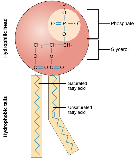 cell membrane diagram blank dual 4 ohm wiring plasma and cytoplasm article khan academy phospholipid showing hydrophilic head with phosphate group hydrophobic fatty acid tails