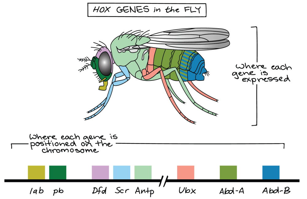 medium resolution of  that these two clusters of genes are separated by a long intervening region that s not shown image credit modified from hox genes of fruit fly