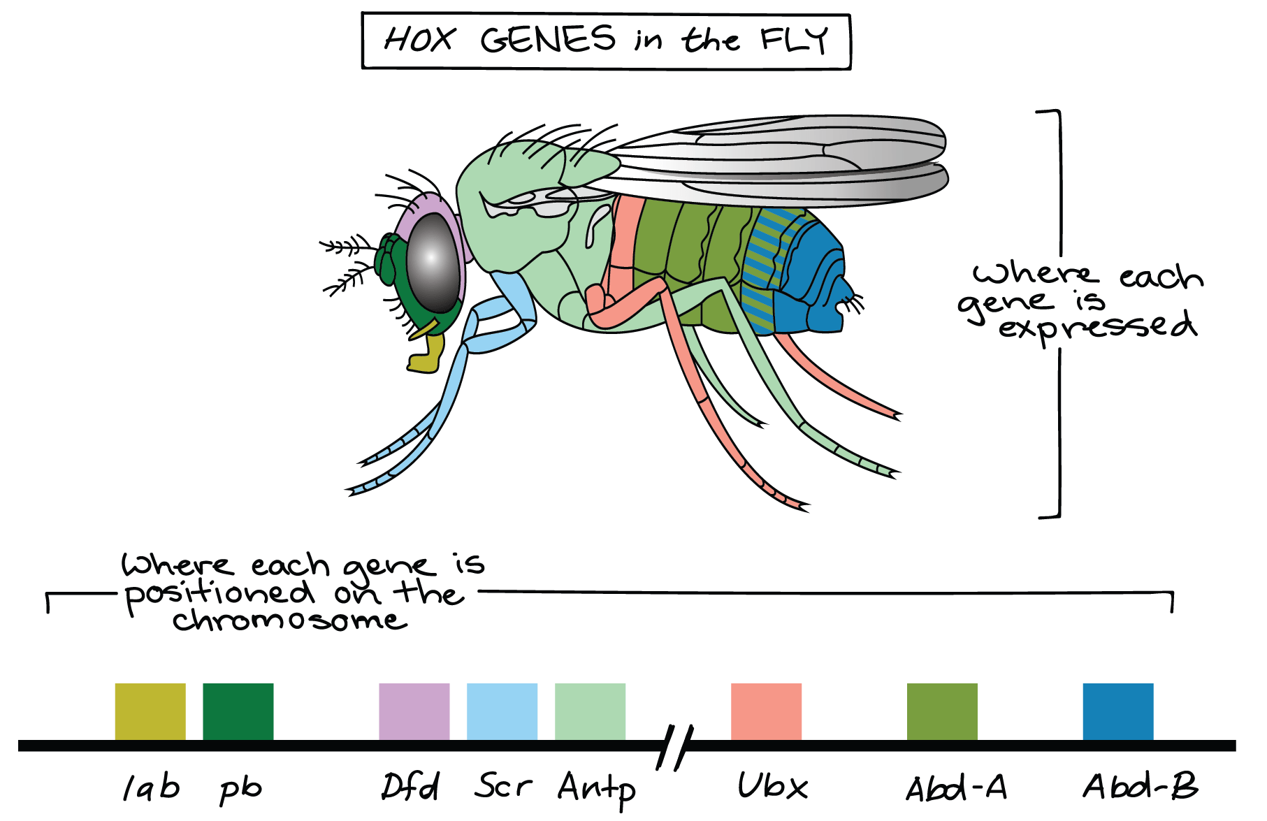 hight resolution of  that these two clusters of genes are separated by a long intervening region that s not shown image credit modified from hox genes of fruit fly