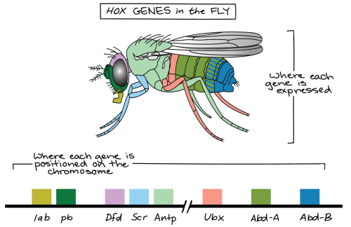 small resolution of  that these two clusters of genes are separated by a long intervening region that s not shown image credit modified from hox genes of fruit fly