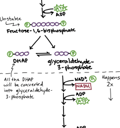 simplified diagram of glycolysis energy investment phase glucose is first converted to fructose  [ 1268 x 2108 Pixel ]