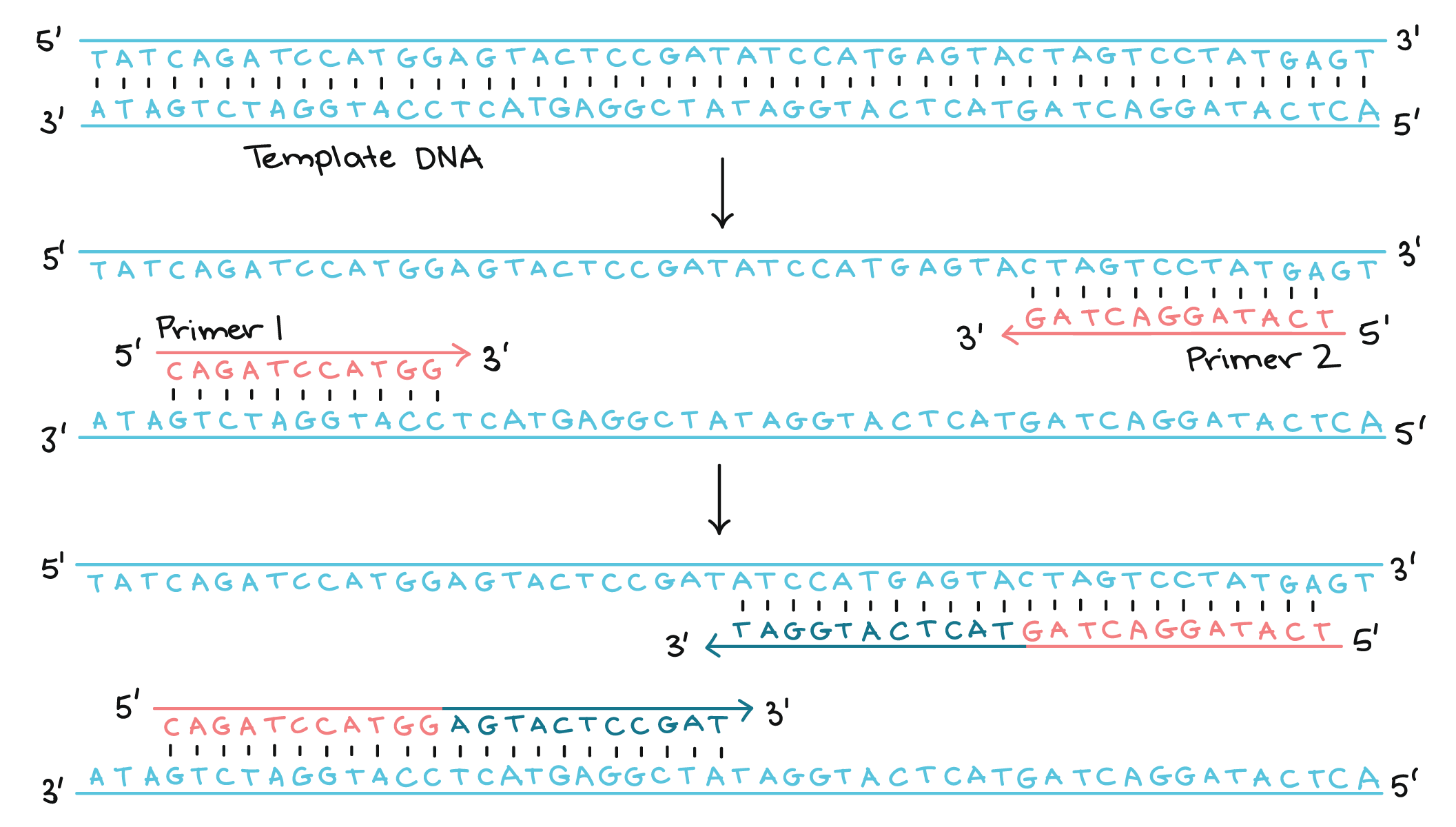 What Does Dna Stand For Biology