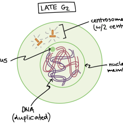 Simple Diagram Of Meiosis Husqvarna 340 Chainsaw Parts Phases Mitosis Biology Article Khan Academy Late G2 Phase The Cell Has Two Centrosomes Each With Centrioles And
