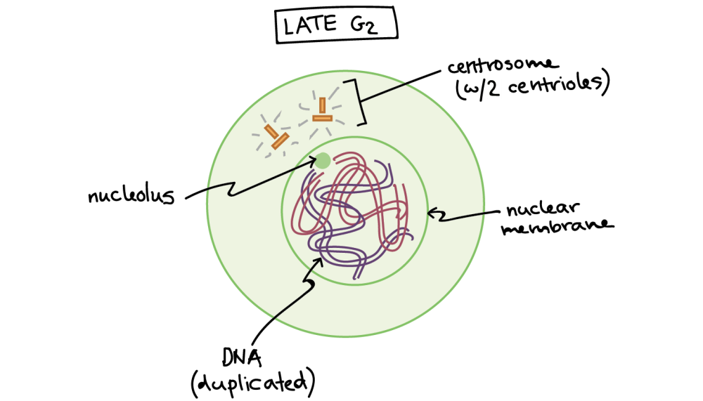 medium resolution of Phases of mitosis   Mitosis   Biology (article)   Khan Academy