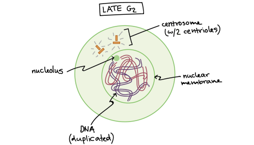 small resolution of Phases of mitosis   Mitosis   Biology (article)   Khan Academy