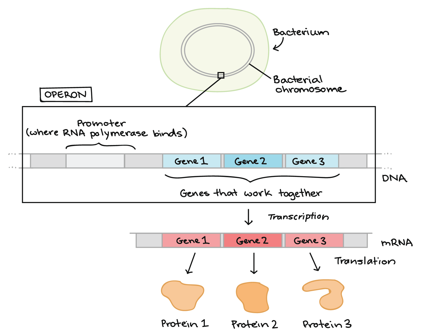 hight resolution of diagram illustrating what an operon is at the top of the diagram we see