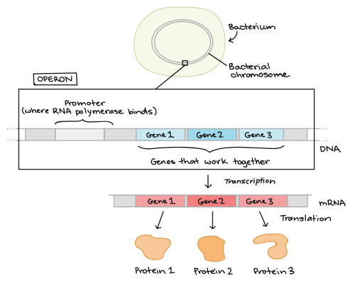 small resolution of diagram illustrating what an operon is at the top of the diagram we see