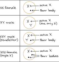 diagram showing sex chromosomes and barr body formation in human individuals with different sex chromosome genotypes [ 1211 x 1209 Pixel ]