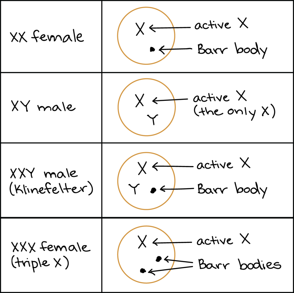 medium resolution of diagram showing sex chromosomes and barr body formation in human individuals with different sex chromosome genotypes