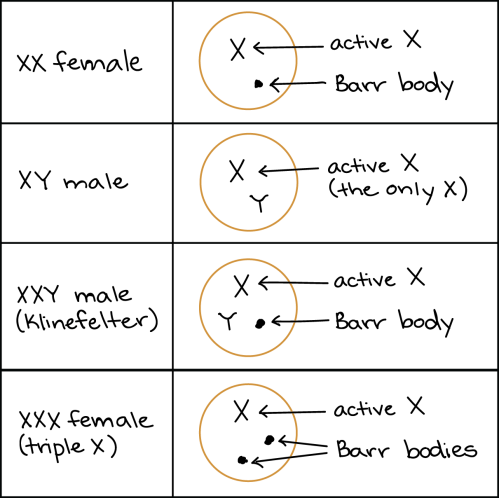 small resolution of diagram showing sex chromosomes and barr body formation in human individuals with different sex chromosome genotypes