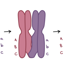 image of crossing over two homologous chromosomes carry different versions of three genes one [ 2672 x 1094 Pixel ]