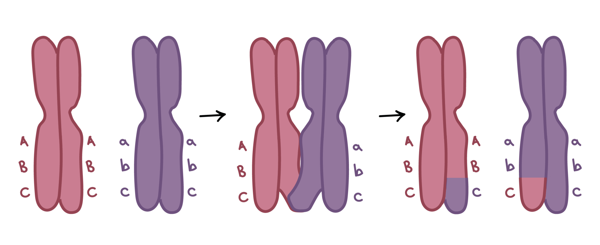 hight resolution of image of crossing over two homologous chromosomes carry different versions of three genes one