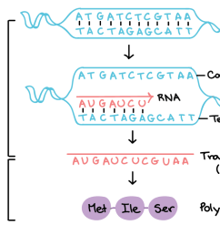 in transcription a region of dna opens up one strand the template strand [ 1367 x 762 Pixel ]