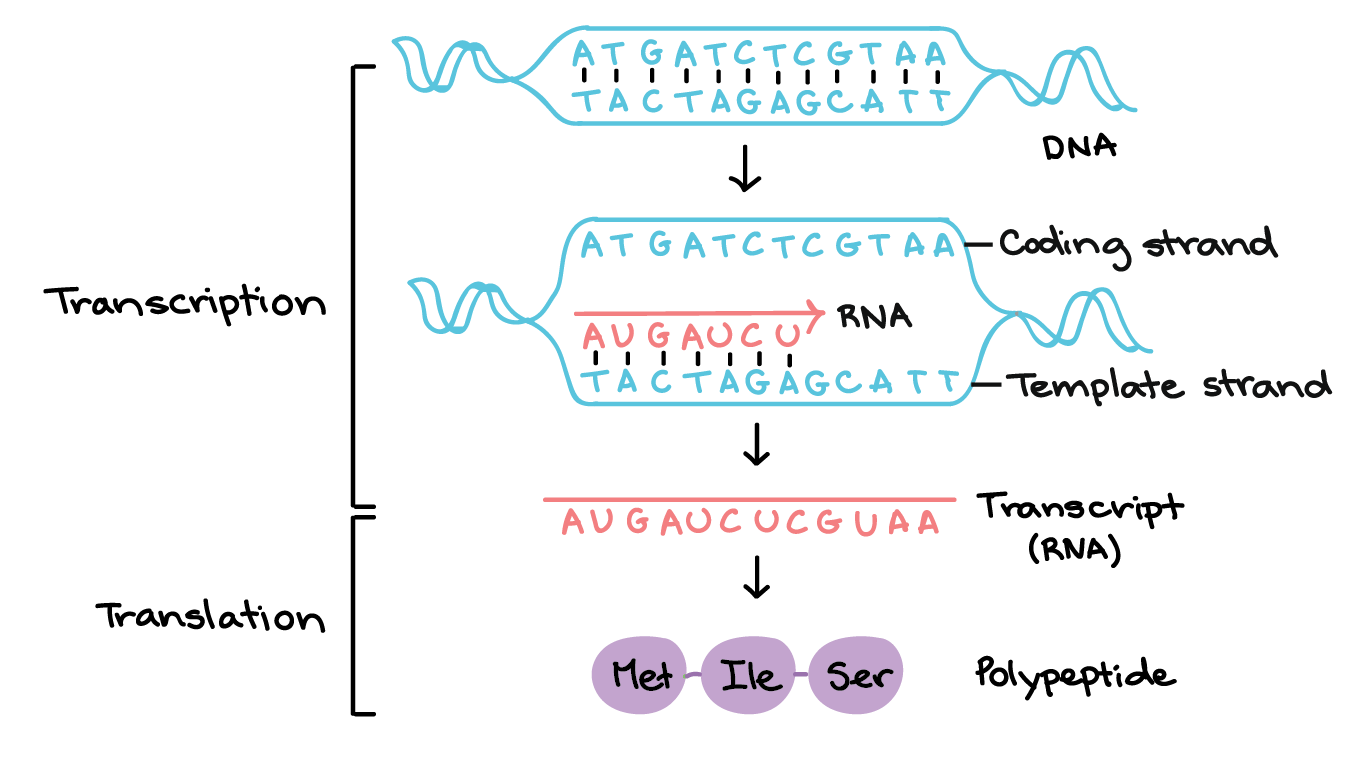 hight resolution of in transcription a region of dna opens up one strand the template strand