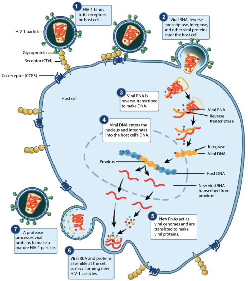 small resolution of image modified from prevention and treatment of viral infections figure 4 by openstax college biology originally from niaid nih cc by 4 0