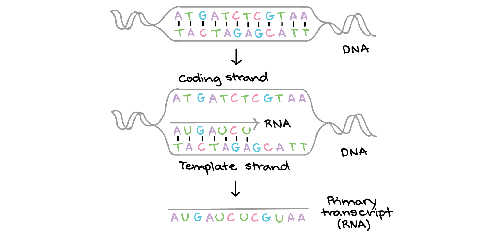 hight resolution of the two strands of dna have the following sequences 5 atgatctcgtaa 3