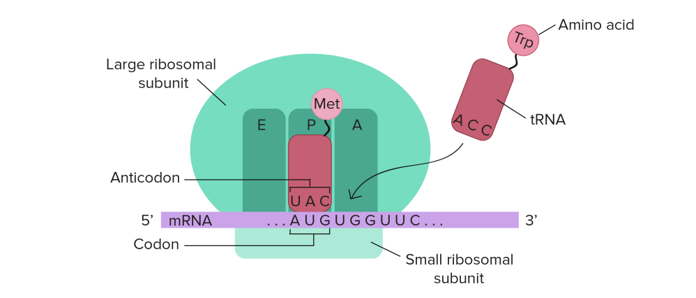 medium resolution of ribosomes are composed of a small and large subunit and have three sites where trnas can
