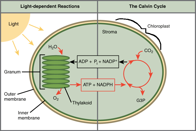 diagram with inputs and outputs of photosynthesis process skin without labels intro to article khan academy schematic the light dependent reactions calvin cycle how they re connected