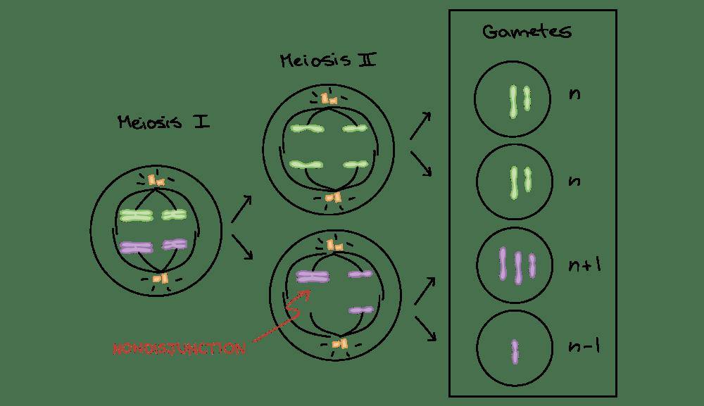 medium resolution of diagram depicting nondisjunction in meioisis ii homologous chromosomes separate normally during meiosis i however
