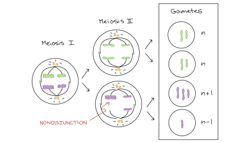 small resolution of diagram depicting nondisjunction in meioisis ii homologous chromosomes separate normally during meiosis i however