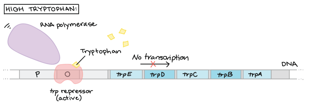 medium resolution of high tryptophan the tryptophan binds to the trp repressor and causes it to change shape