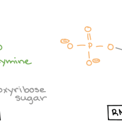 dna nucleotide lacks a hydroxyl group on the 2 carbon of the sugar  [ 1783 x 571 Pixel ]
