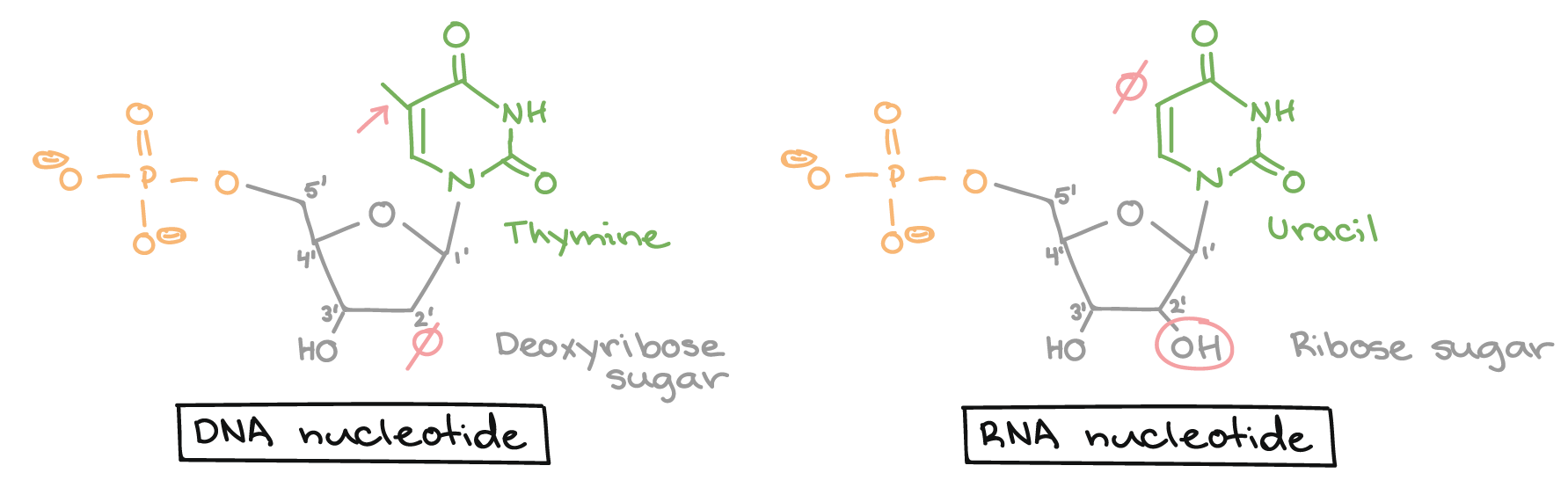 hight resolution of dna nucleotide lacks a hydroxyl group on the 2 carbon of the sugar