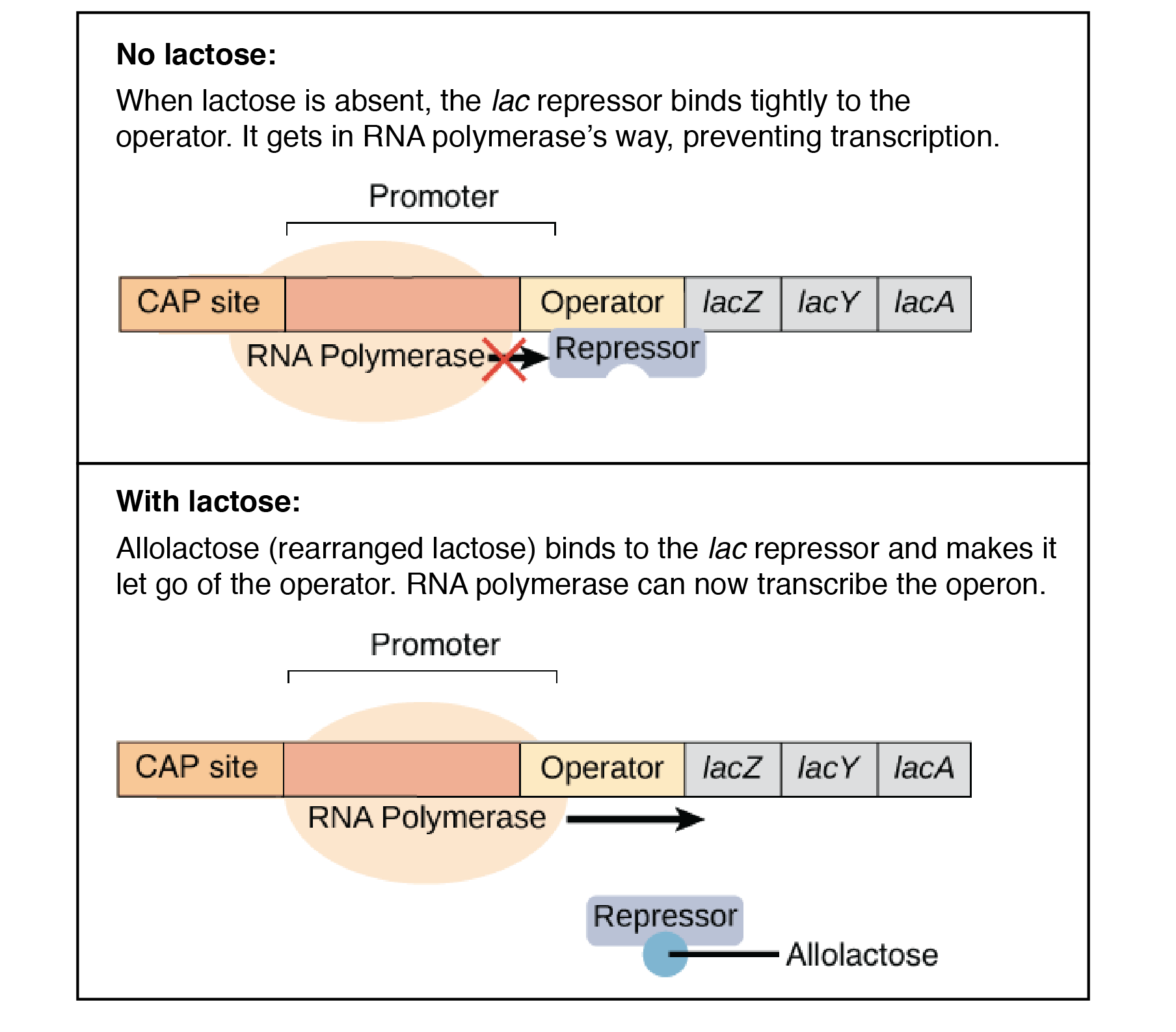 In Eukaryotic Cells Repressor Proteins Inhibit