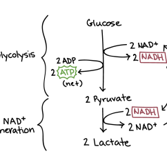 Stages Of Glycolysis And Fermentation Diagram Bear Skull Anaerobic Respiration Cellular Article Khan Academy