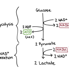diagram of lactic acid fermentation lactic acid fermentation has two steps glycolysis and nadh [ 1042 x 775 Pixel ]