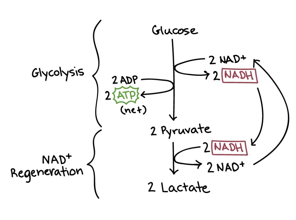 medium resolution of diagram of lactic acid fermentation lactic acid fermentation has two steps glycolysis and nadh
