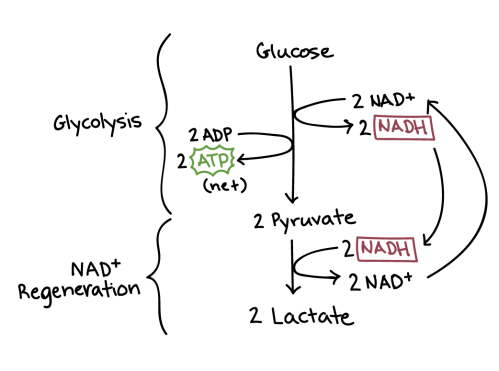 small resolution of diagram of lactic acid fermentation lactic acid fermentation has two steps glycolysis and nadh