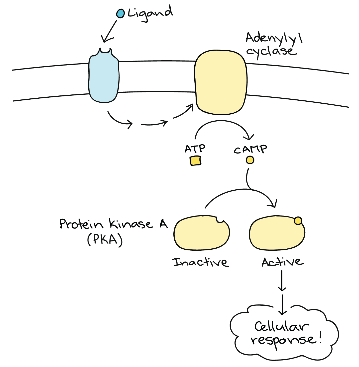 Signal Transduction Pathway Worksheet