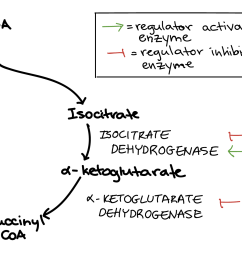 diagram showing regulation of the citric acid cycle the conversion of isocitrate to  [ 2383 x 1104 Pixel ]