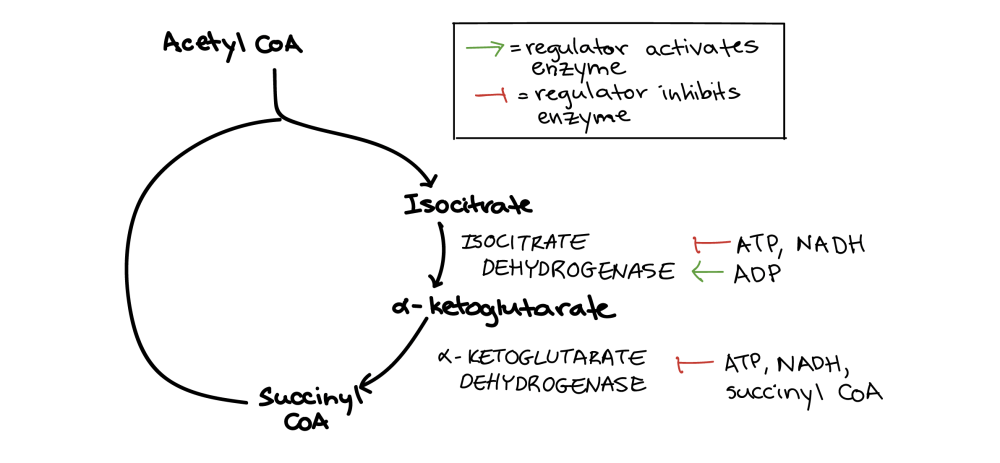 medium resolution of diagram showing regulation of the citric acid cycle the conversion of isocitrate to
